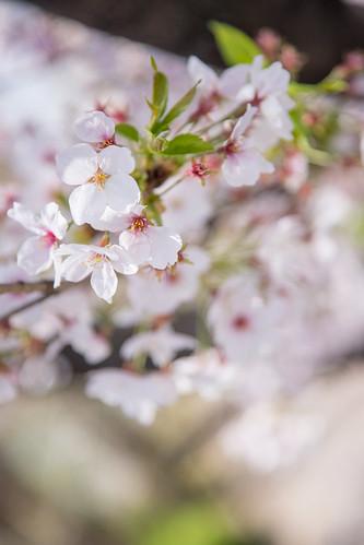 大阪 桜ノ宮 桜 Osaka Sakuranomiya Station Cherry Blossom