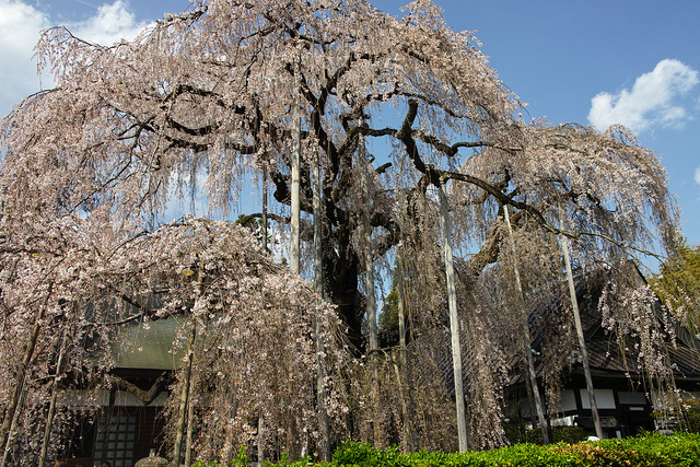 慈雲寺の糸桜