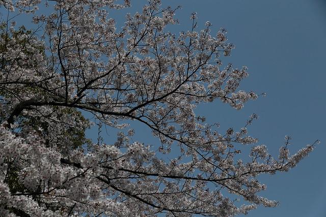 Sakura at Jingu, Canon EOS 6D, Canon EF 28-200mm f/3.5-5.6 USM