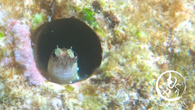 穴の大きさ3mmの極小ヒナギンポベイビーたん♪