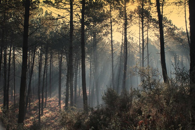 seignosse brume au petit matin foret landaise -seignosse mist in the early morning forest