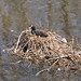 Coot roosting... Manchester Ship Canal