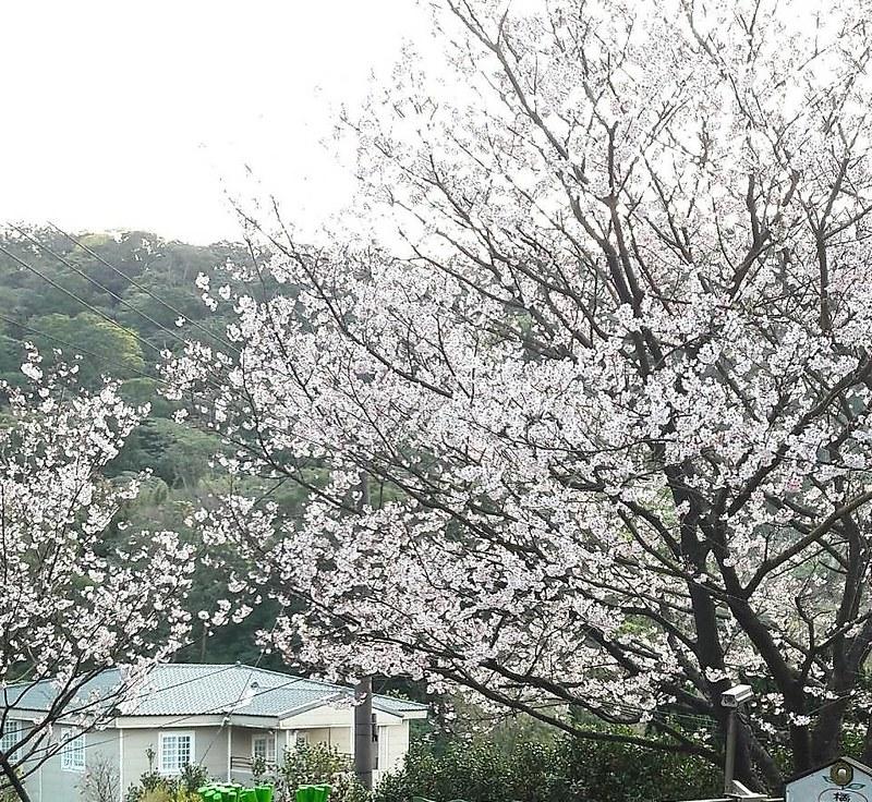 平菁街93巷橘咖啡賞櫻趣 (3)