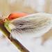 Piussy willow still emerging