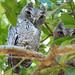 Untrusting Owl Buddies