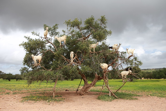 Climbing goats in a tree