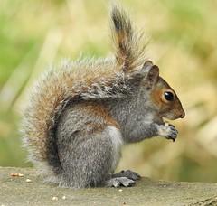 Grey Squirrel - Mid-Morning Snack