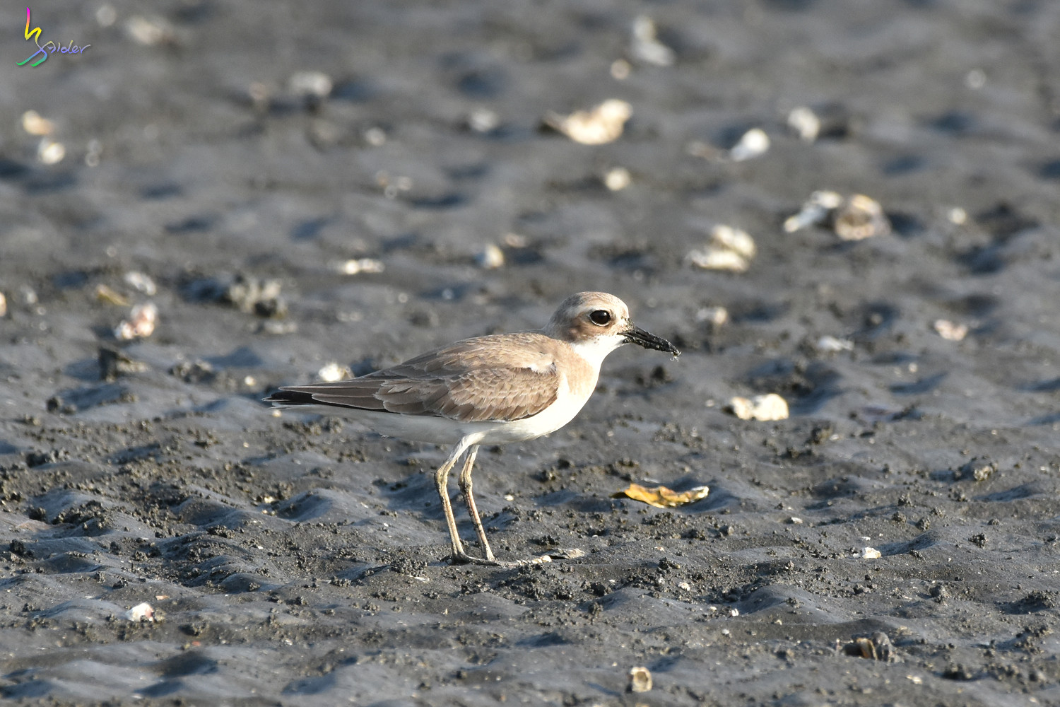 Greater_Sand_Plover_1743
