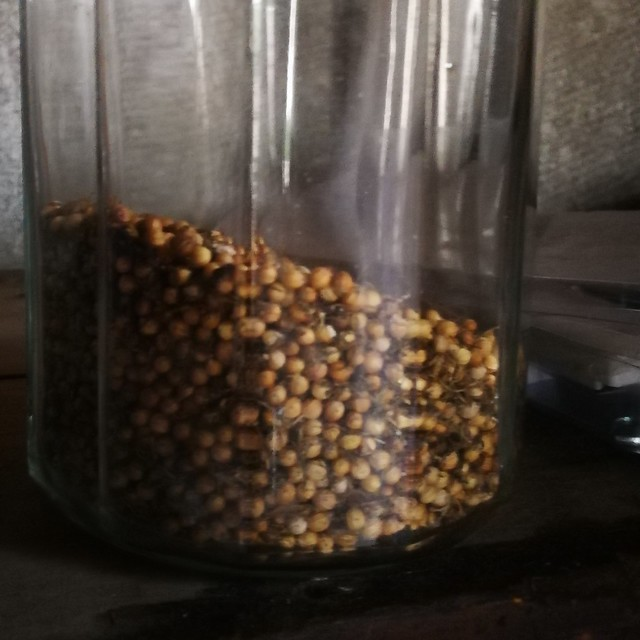 coriander seeds belonging to shiny