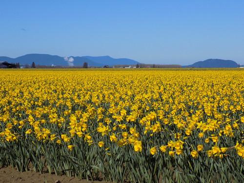 Skagit Daffodils-13