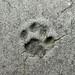 Impronta di gatto
