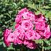 Roses-4968