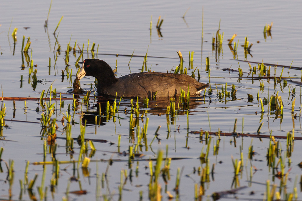 An American coot brings up plants to eat from the shallows of Rest Lake at Ridgefield National Wildlife Refuge in Washington