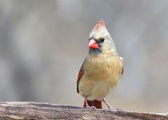 Blue Jays / Cardinals / Robins