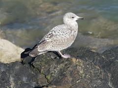 Herring gull  P1600237