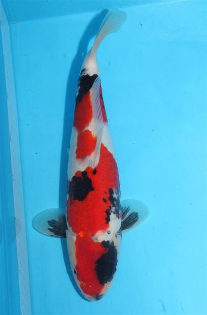 16-35cm Momotaro (Large)