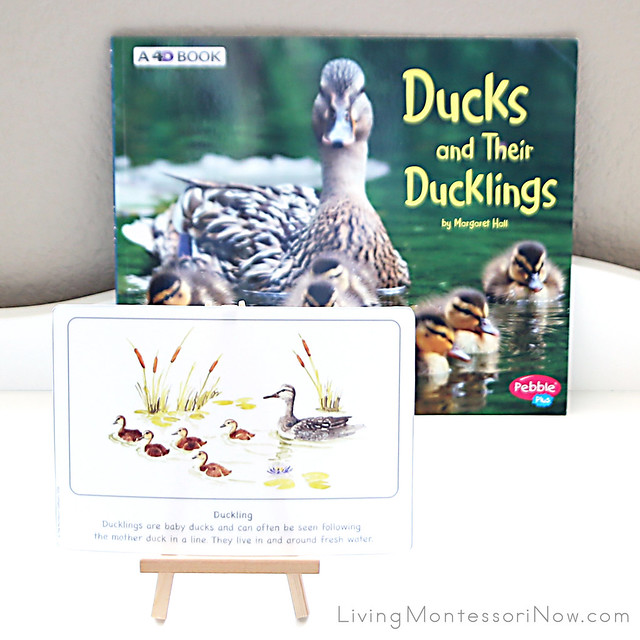 Duckling Culture Card with Ducks and Their Ducklings Book