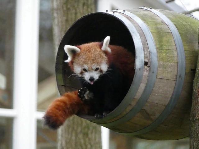 Roter Panda, AquaZoo Friesland