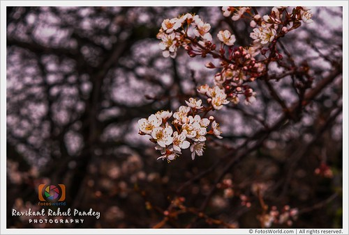 Cherry-Blossoms-in-Princes-Street-Gardens-The-first-sign-of-spring-Edinburgh-Scotland-180407-173916