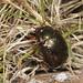 Leaf Beetle - Chrysolina banksi