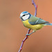 blue tit by leonardo manetti