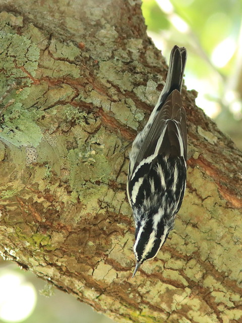 Black-and-White Warbler 02-20180414