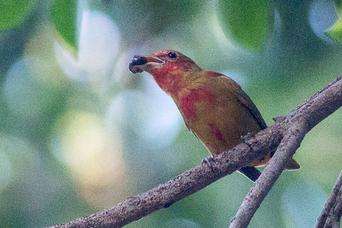 Summer Tanager  - immature male