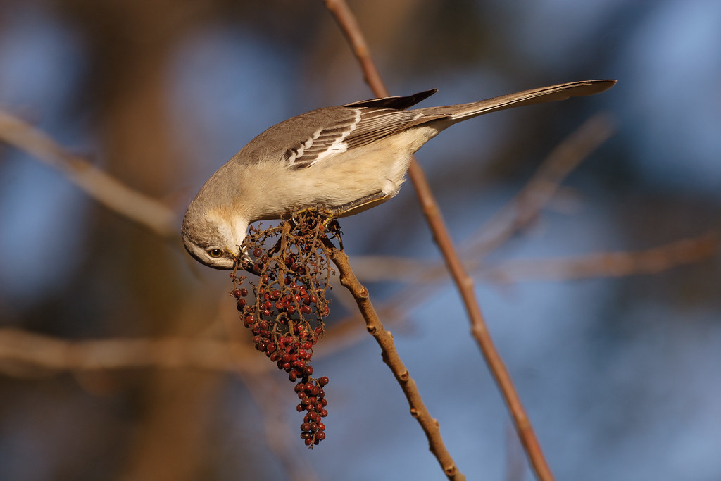 A northern mockingbird balances at the end of a tree branch while eating berries in Conway, South Carolina