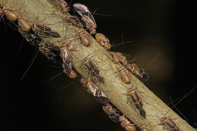Common Barklice - Cerastipsocus venosus, Patuxent National Wildlife Refuge, Laurel, Maryland