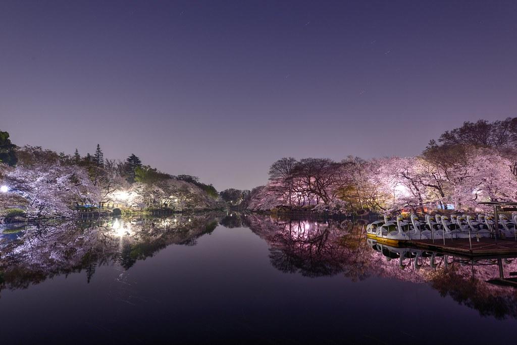 cherry blossoms at Inokashira park