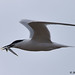 sandwich tern 2018 in flight food