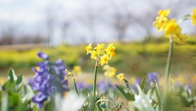 DSC07445花菜ガーデン