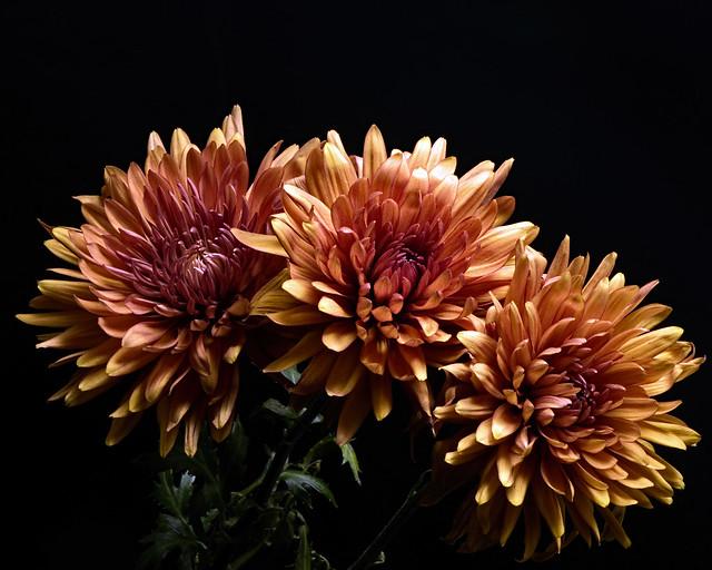 Three Autumn Mums 1105