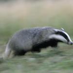 Running badger 2