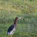 Chinese pond heron in breeding plumage