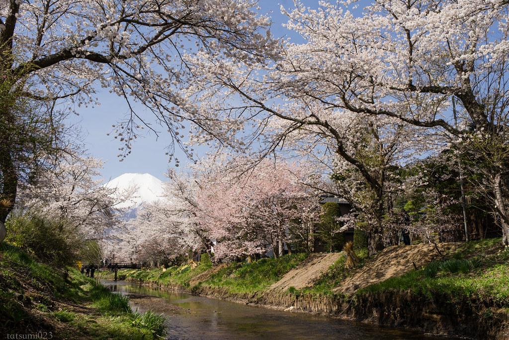 2018-04-13 忍野の桜 003