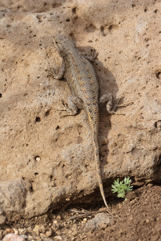 An eastern fence lizard sits on a rock beside the Little Arsenic Trail in the Rio Grande del Norte National Monument in New Mexico
