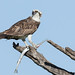 osprey with needlefish by annmpachecophotography.com