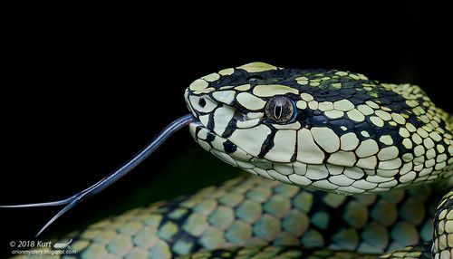 Trimeresurus sumatranus_MG_0115 copy