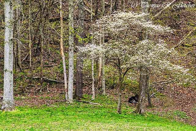 Spring Gobbler Dogwood in Bloom