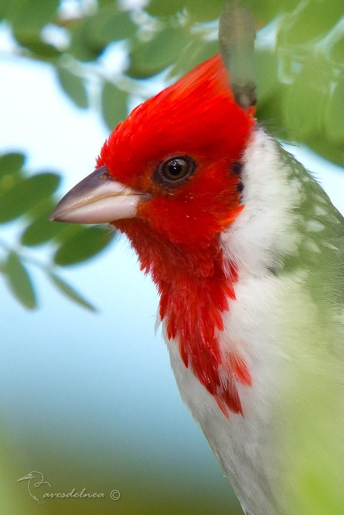 Cardenal común (Red-crested Cardinal) Paroaria coronata