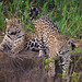 Jaguars (Andrew Griffin)