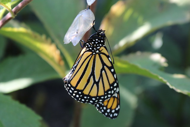 Monarch hanging from its chrysalis, wings full-sized and smooth.