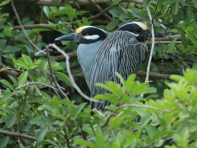 Yellow-crowned Night-Heron pair at Position 6 02-20180412