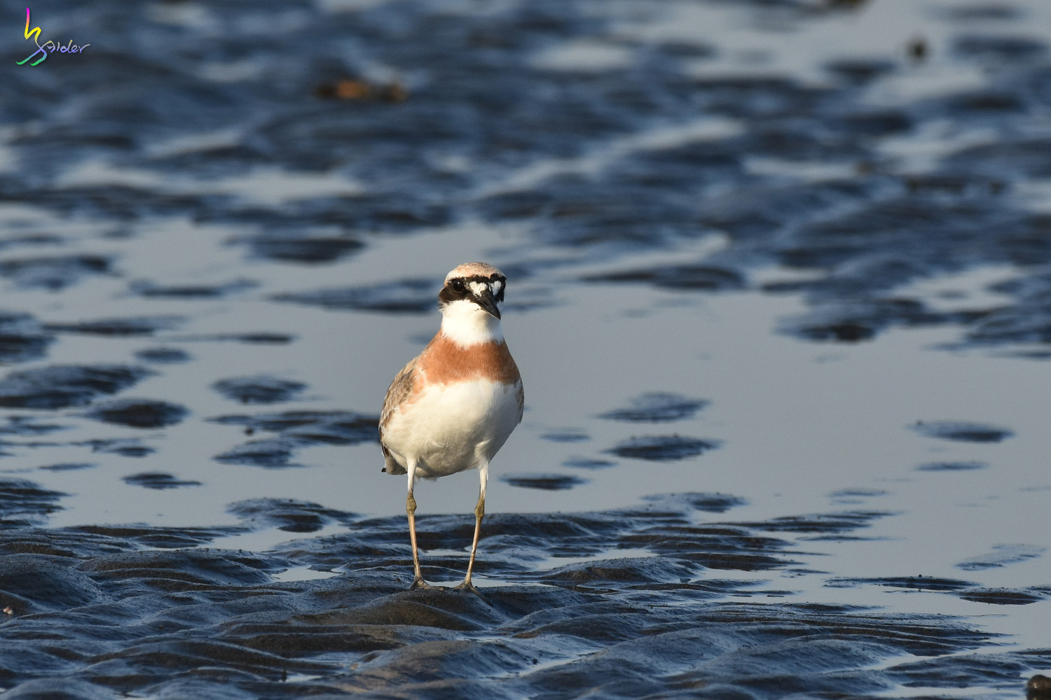 Greater_Sand_Plover_2050