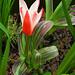 Dwarf tulip: 22.3.18.