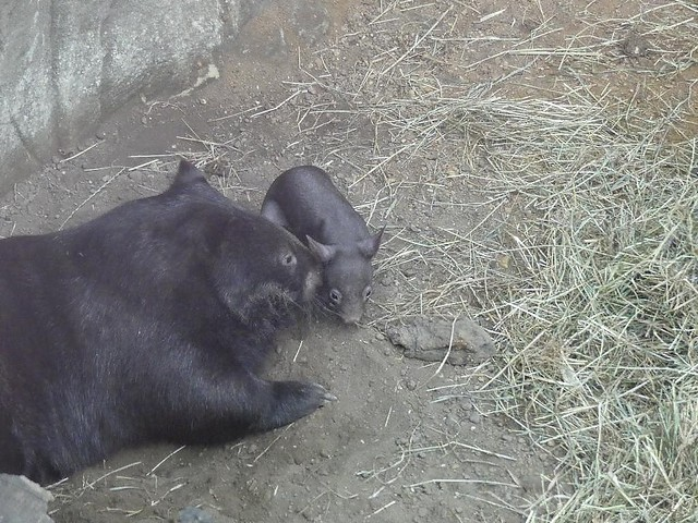 Wombat mit Baby, Zoo Duisburg