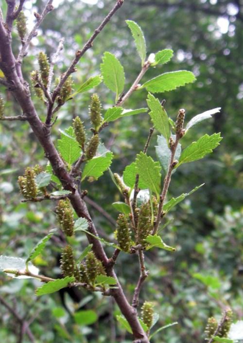 Betula glandulosa 41156634982_6195da1269_o