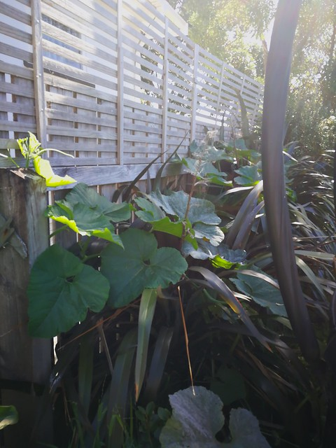 Pumpkin growing over the harakeke