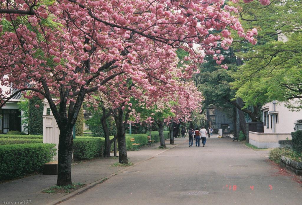 2018-04-07 江戸たてもの園の八重桜 001